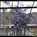5/6 窗外的jacaranda開了