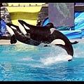 兩隻殺人鯨一起跳躍
