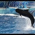 全身黑色的鯨魚