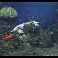 海龜與許多熱帶魚一起游來游去
