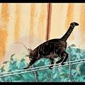 貓咪走鋼索(這算表演嗎?)