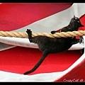 貓咪倒掛著走繩子(這個有厲害)