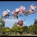 想像櫻花盛開的公園一定很美