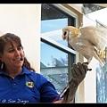 飼育員戴上手套,拿出漂亮的貓頭鷹