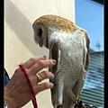 飼育員讓貓頭鷹表演了兩招:一是拍翅無聲;二是脖子轉超過180度!