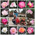 小小的玫瑰園裡有各種玫瑰,我只照了粉色系的,還有紫色黃色橘色等等罕見的顏色~