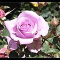 補照紫色玫瑰