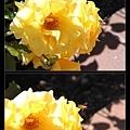 蜜蜂採蜜(腳上裹了一坨花粉!)