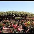 晴空下的玫瑰園