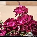 豔紫色玫瑰