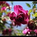 低頭但仍嫵媚的豔紫玫瑰