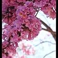 好美麗的紅花風鈴木