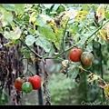 只種一株但超級盛產的蕃茄