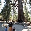 名為 Grizzly Giant 的 sequoia