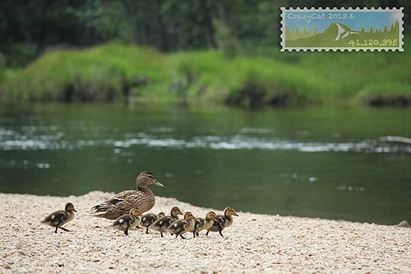 可愛的小鴨走到哪兒都緊緊跟著媽媽