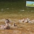 鴨寶寶們收到鴨媽媽「快給我跟上」的指令,開了turbo努力游著