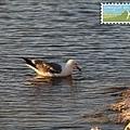 由於湖水的鹽濃度大於海水,這裡的海鷗看起來像整隻浮在水上