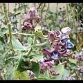 monarch 毛毛蟲