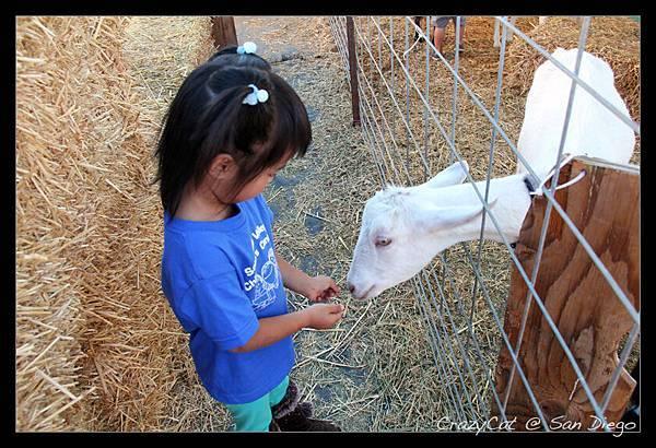 陳小牛鼓足勇氣才敢站在圍欄外面餵小羊吃草(所有同學都在圍欄裡)