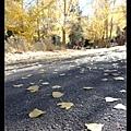 cottonwood  的葉子比較接近三角形,aspen 的會比較胖胖圓圓。