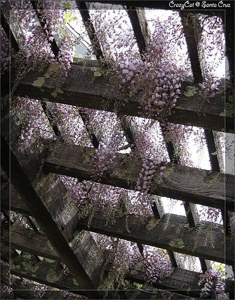 4/2 紫藤也開了!