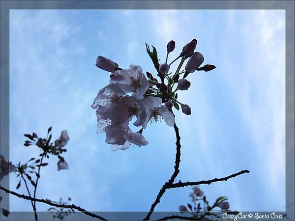 3/21 薄得幾乎透明的花瓣
