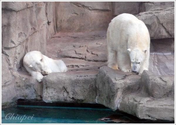 我們是來看北極熊的