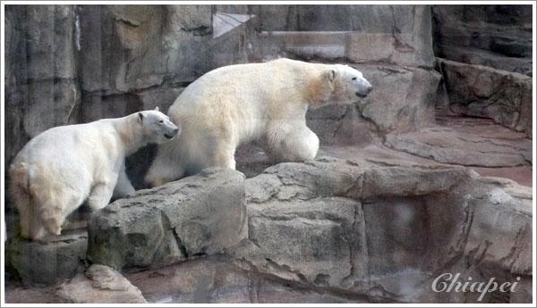 好大的大白熊啊