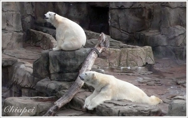 等了半天都沒有要放飯,大白熊失望地坐下來