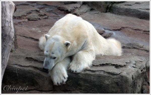 憂鬱的大白熊