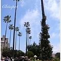 爬上棕櫚樹的玫瑰花