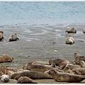 沙灘上的海豹(seal)