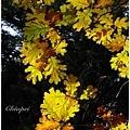 橡樹的葉形本來就很美,秋天將她們染成五顏六色的就更美啦!