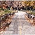 早起散步的 coyote(土狼)