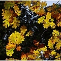 五彩繽紛的橡樹葉(oak)