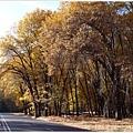 平凡的道路因這些金色樹木而美麗起來