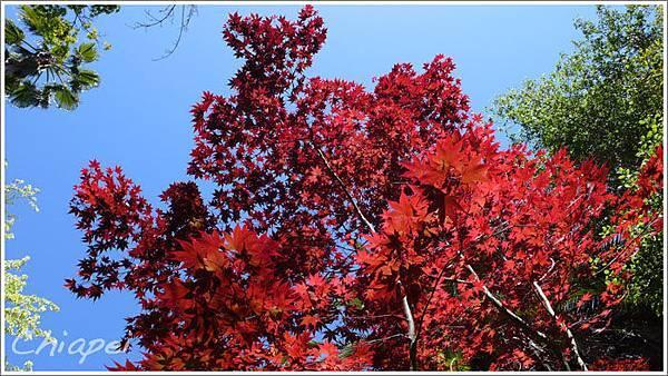 5/1 花園裡的漂亮紅葉樹