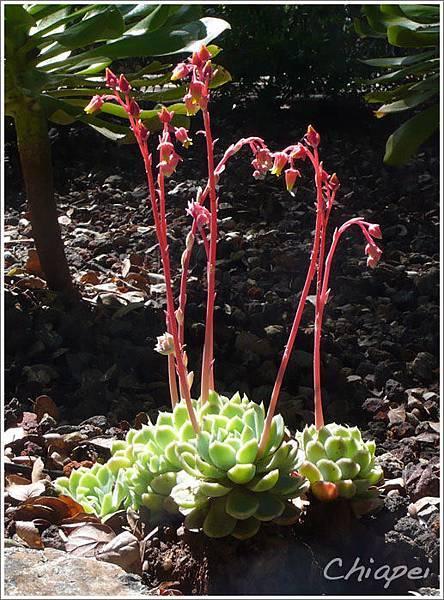 5/1 夫夫很喜歡這株開小花的多肉植物