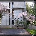 3/21 學校的櫻花開了