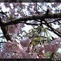 3/21 向下開的櫻花