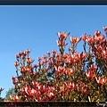 另一種也是開得滿樹紅吱吱的樹
