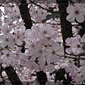 4/2 粉嫩的櫻花