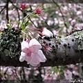 3/25 櫻花樹特有的青苔