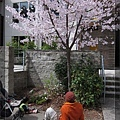 4/2 坐在地上賞櫻
