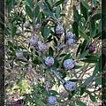 終於看到一個不是 Banksia 的植物...
