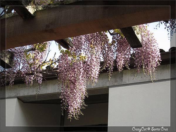 4/13 夕陽下詩一般的紫藤