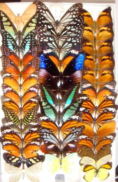 蝴蝶標本.jpg