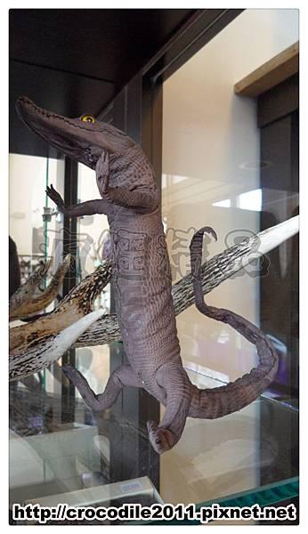 【品名】限量小鱷魚標本