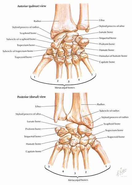 fn-bones-carpal.jpg