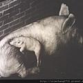 豬攝影1.jpg